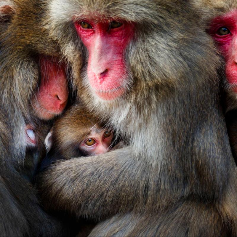 Par une froide journée d'hiver, j'ai capturé le moment où les mères-singes se sont regroupées après un toilettage sur l'île d'Awaji. Les singes japonais sont généralement considérés comme despotiques et agressifs, mais ils construisent des relations sociales avec des avantages mutuels. PHOTOGRAPHIE DE HIDETOSHI OGATA.