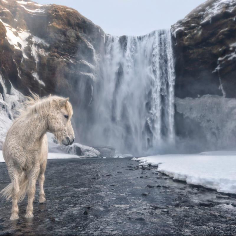 C'est probablement l'un des plus beaux paysages que je n'ai jamais vu. Imaginez-vous... Vous arrivez et trouvez ce cheval islandais sauvage et majestueux qui pose pour vous. Ce matin je me demandais si ça valait la peine d'y aller ... mauvais temps, froid, pas de bonnes conditions de lumière ... mais on ne sait jamais ce que vous allez trouver. PHOTOGRAPHIE DE E. ARENCIBIA.
